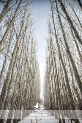 winter scene row of trees
