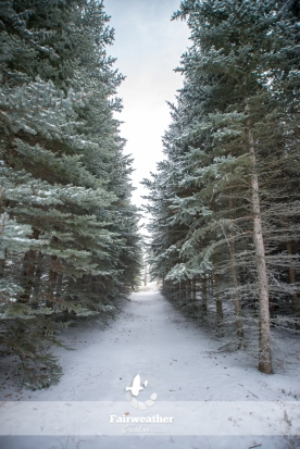 row of evergreens in the winter