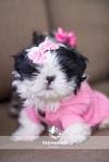 Shih Tzu Puppy in Pink