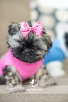 Shih Tzu Puppy in Pink